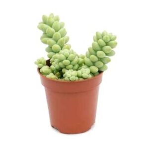 comprar cactus cola de burro