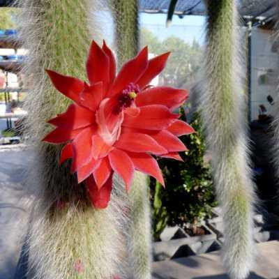 comprar cactus cola de mono
