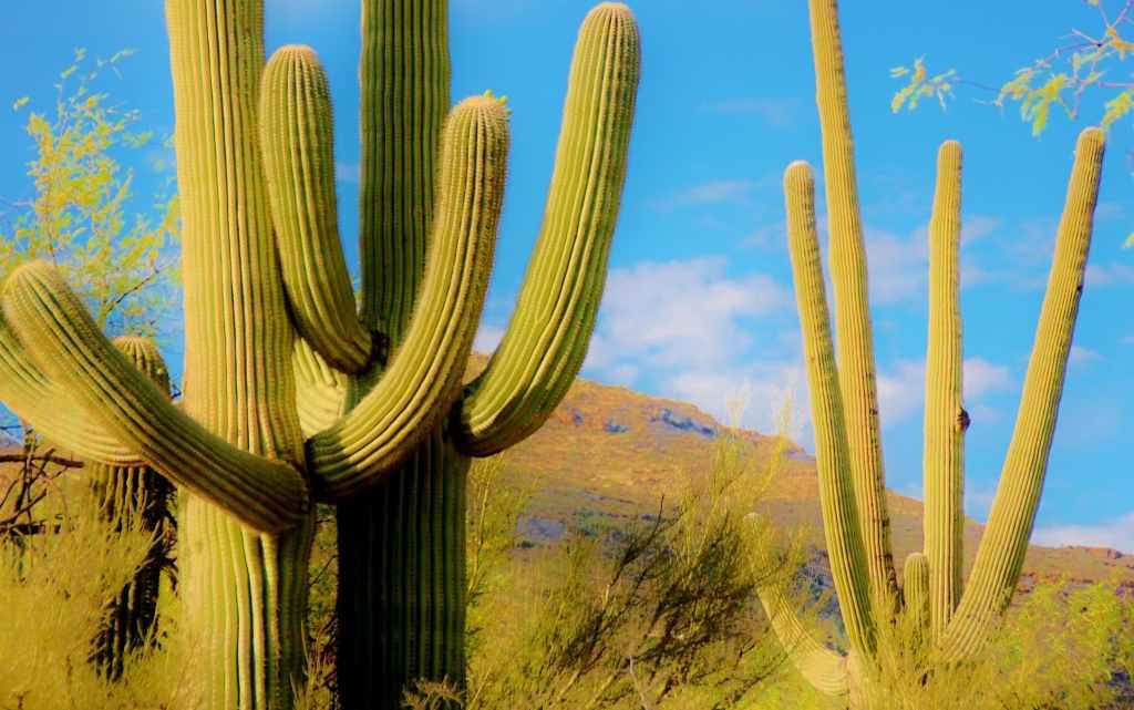 saguaro cactus desierto