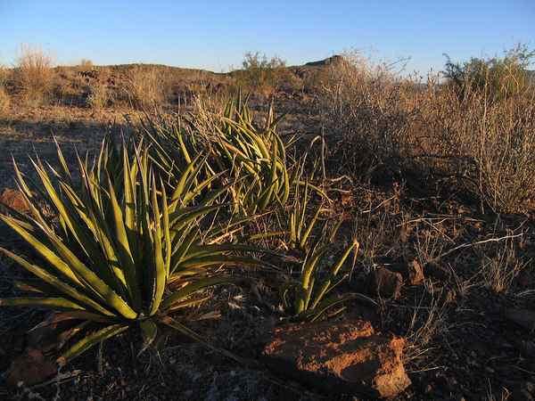 plantas del desierto de chihuahua