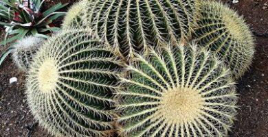 echinocactus grusonii cuidados