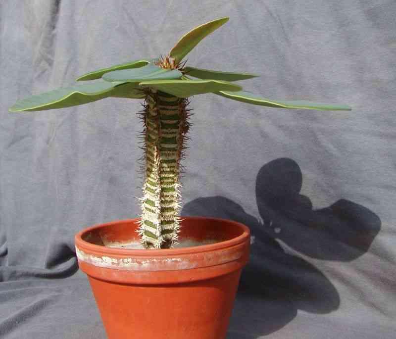 euphorbia cactus cuidados