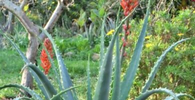 planta aloe candelabro