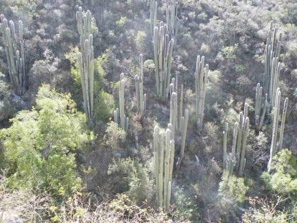 cactacea gigante Cephalocereus senilis