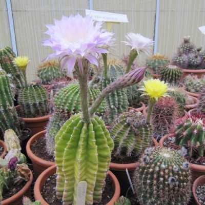 suculentas con flores