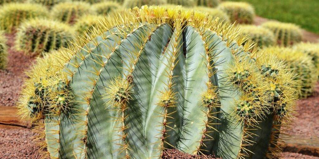 precio de cactus grandes