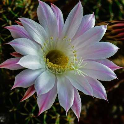 suculentas con flor