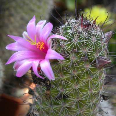 flors de cactus