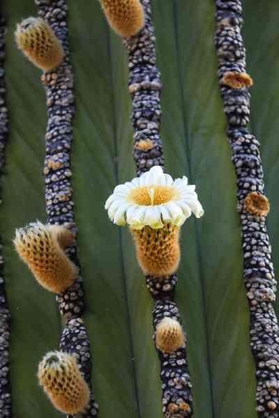 Flores de Pachycereus pringlei