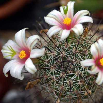 cactus forma de flor