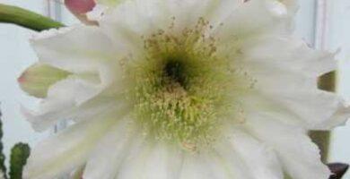 cereus peruvianus radiaciones