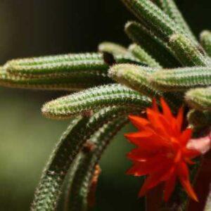 echinopsis chamaecereus fucsia