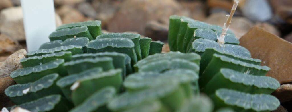 haworthia truncata caracteristicas