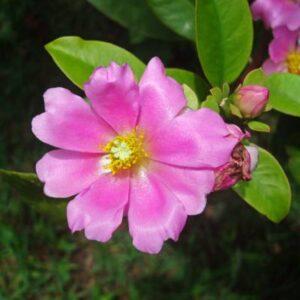 suculenta pereskia grandifolia