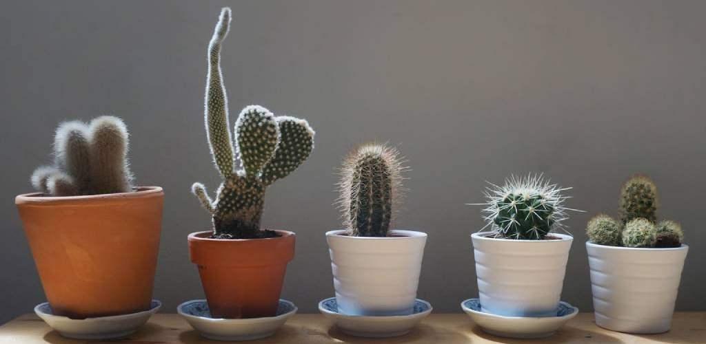 tipos de cactus y suculentas