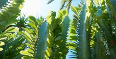 euphorbia trigona infojardin