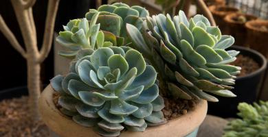 plantas echeveria