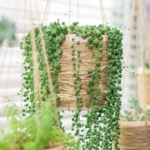 plantas senecio