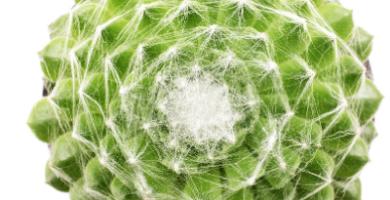 planta araña cuidados