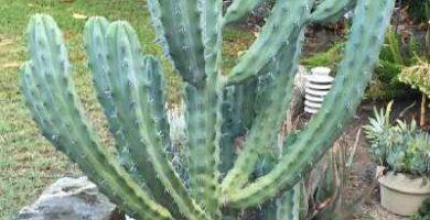 cacto Myrtillocactus geometrizans